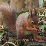 chestnut-mews-red-squirrel-isle-of-wight